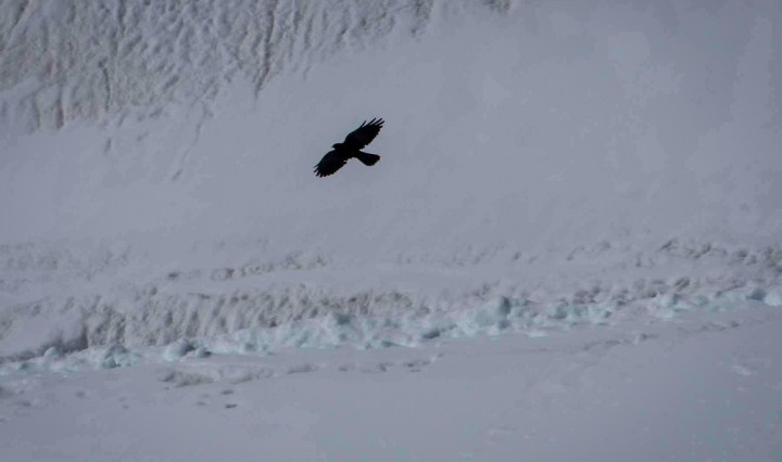 Chough against snow in Aletsch glacier