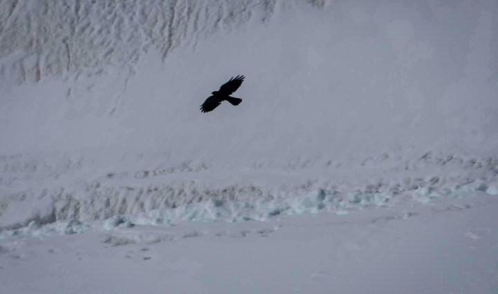 Chough against snow in Aletsch glacier