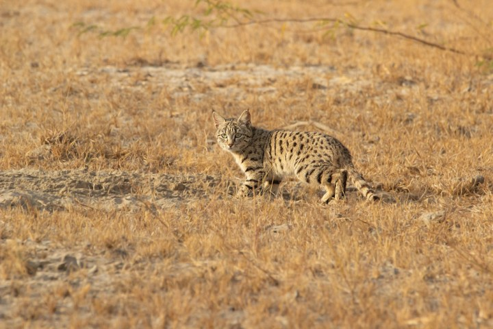 Desert Cat in Banni grasslands of Kutch. Photograph by Anand Yegnaswami