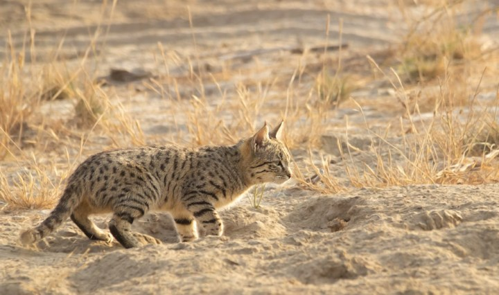 Desert Cat in Banni, Kutch