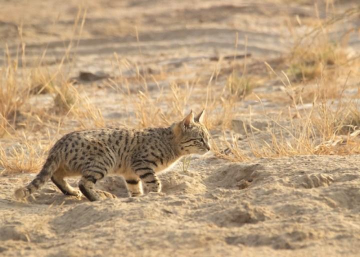Desert Cat trying to hunt Indian Desert Jird
