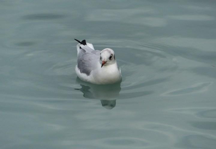 Brown-headed Gull at Lake Brienz