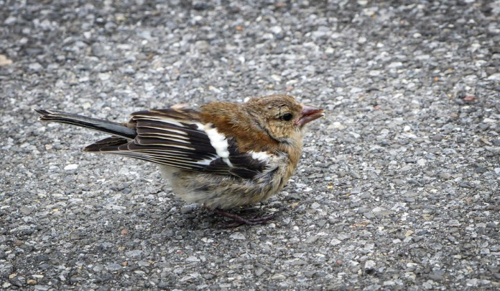 Common Chaffinch at Lake Brienz