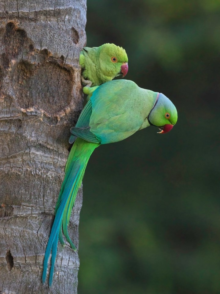 Rose-ringed Parakeet on a dead tree