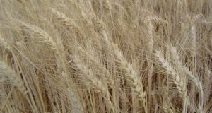 A Field of Wheat, Staple in Many Parts of the World