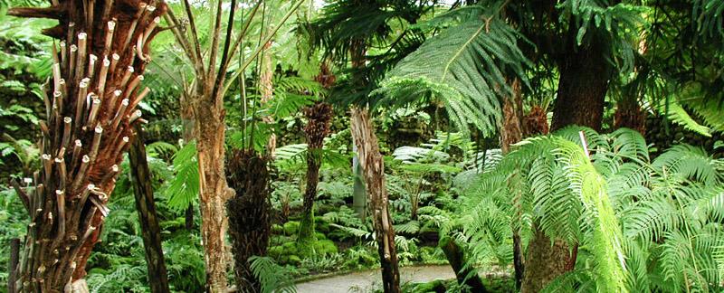Green Parrot Gardens   Successful Planning   Tree Ferns in a Woodland Garden near St Tropez