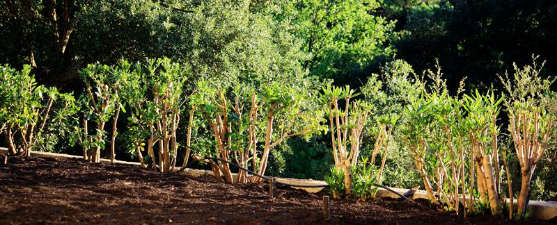 Green Parrot Gardens | Garden Renovation | Pittosporum Clean Up