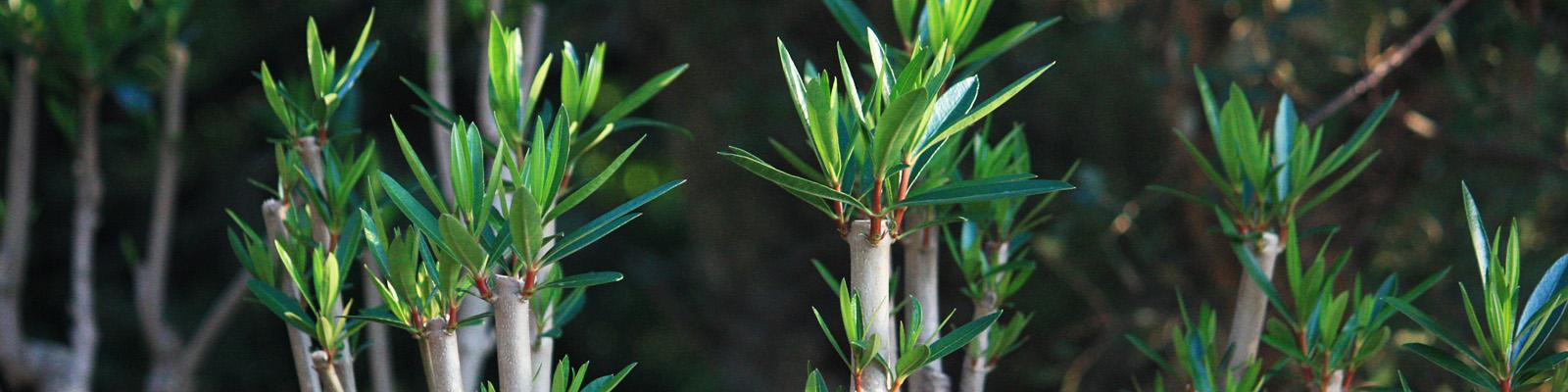 Green Parrot Gardens | Garden Maintenance | Oleander Clean Up