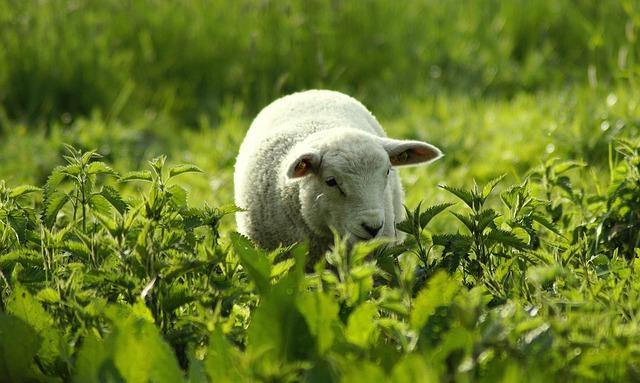 Sheep eating stinging nettles
