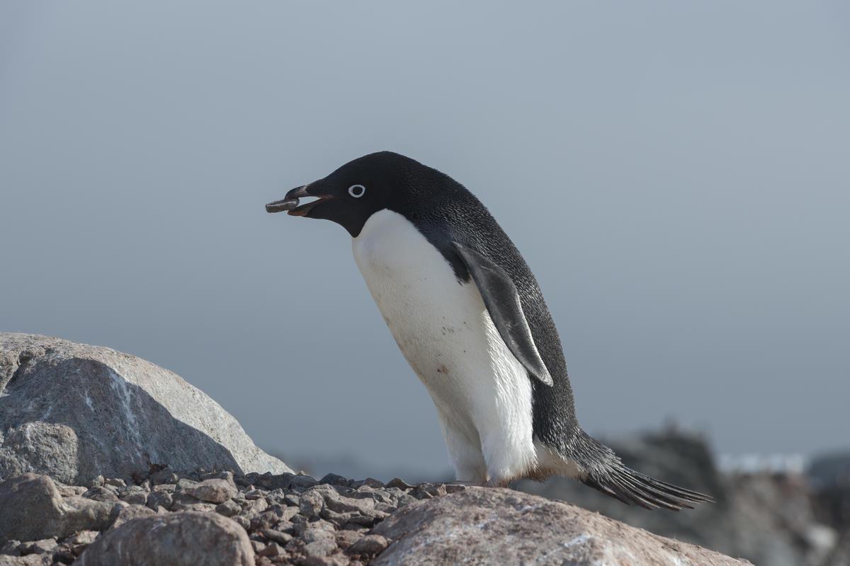 以南極為家的 5 個企鵝種類。除了皇帝企鵝還有... - Greenpeace 綠色和平 | 臺灣