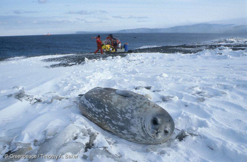 The Ross Sea is home to 45% of the Southern Pacific population of Weddell seals. And now it will be protected!