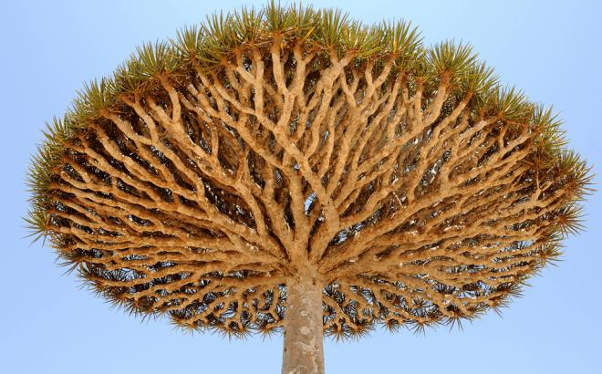 socotra-yemen-dragon-trees