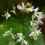 Aglio Orsino - Il Fiore