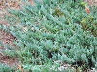 Juniperus Blue Carpet Wiki - Carpet Vidalondon
