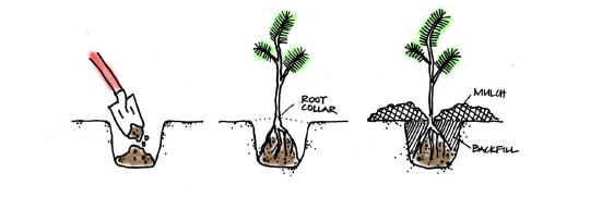 Planting Diagram taken from the Green Seattle Partnership Field Guide