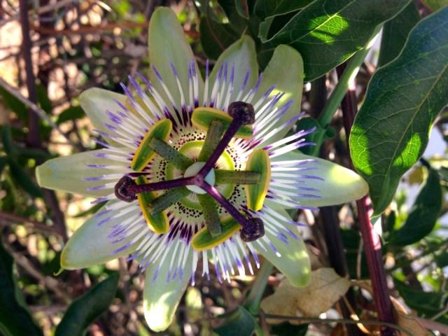 Eine Passionsblume (Passiflora edulis) am Rande eines Parkplatzes in Rovinj, Kroatien.