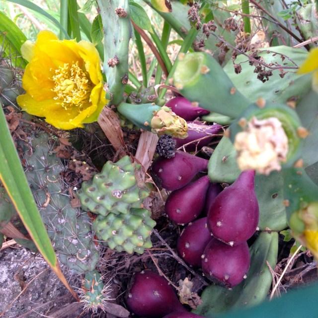 So schön wie sie stechen kann: Eine Opuntie (ugs. Feigenkaktus) mit gefüllten, gelben Blüten (Rovinj, Kroatien).
