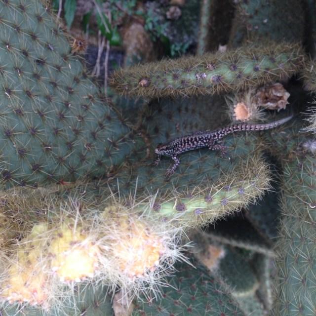 Zu wenig Mensch um vom Klimawandel am Mittelmeer zu wissen, aber nicht zu klein um davon betroffen zu sein. Eine Eidechsenart auf einer Opuntien-Kaktee in Rovinj, Kroatien.