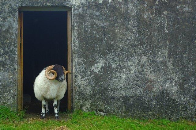 Ob es das schottische Wollschaf bereits zur schottischen Aufklärung gab?  (Image by Jan Blanke from Pixabay.com).