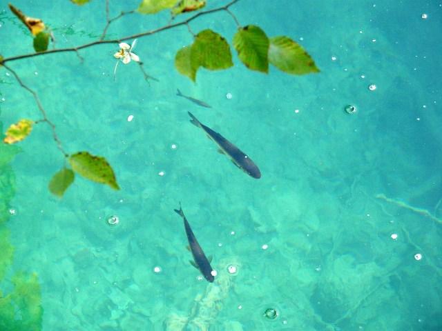 Die Forelle (Salmo trutta) nutzt die Wasserenergie in Strömungen und Wirbeln um flussaufwärts an ihre Laichplätze zu kommen (Bild von Gaby Stein auf Pixabay).
