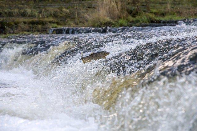 """Eine Bachforelle (Salmo trutta fario) beim Sprung flussaufwärts aus einer Wasserströmung heraus (Bild von <a href=""""https://pixabay.com/de/users/Erik_Karits-15012370/?utm_source=link-attribution&utm_medium=referral&utm_campaign=image&utm_content=4816819"""">Erik Karits</a> auf <a href=""""https://pixabay.com/de/?utm_source=link-attribution&utm_medium=referral&utm_campaign=image&utm_content=4816819"""">Pixabay</a>)."""