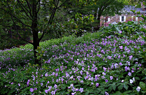 Great Native Ground Covers Part I  greenstrides  Sustainable Landscape Design Architecture