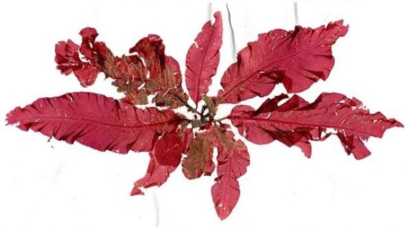 Delesseria sanguinea Helgoland