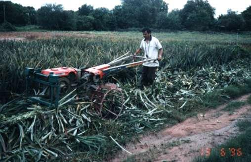 Pineapple Plant Dressing Machinezer Distributor