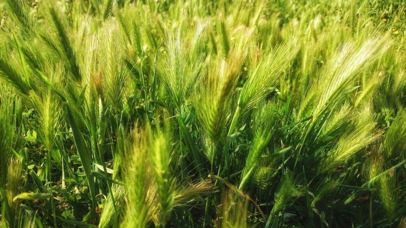 Agro Corn