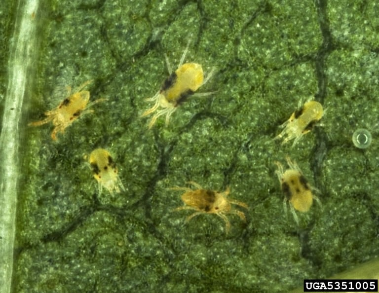 How To Get Rid Of Spider Mites Organically Green Thumb