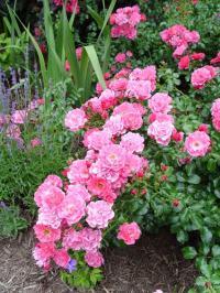 Pink Carpet Rose - Bing images