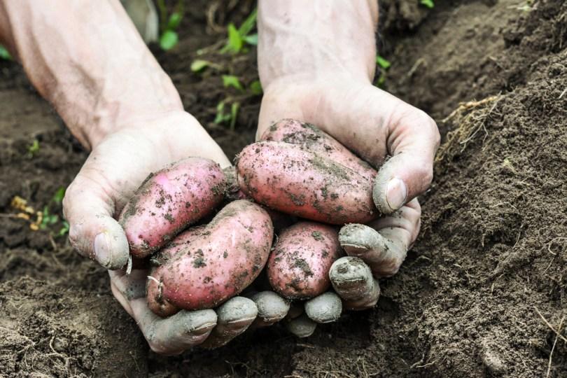 patates bio