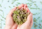 Plantes immunité thym