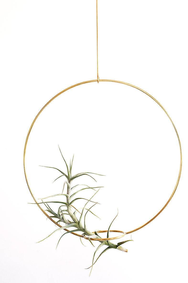 T.diagutensis in an Airplant hanger from Studio Hali-Ann Tooms