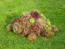 Schildpad van vetplantjes
