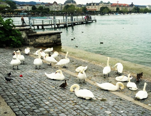 Swans at Lake Zurich - Gregarious Gecko