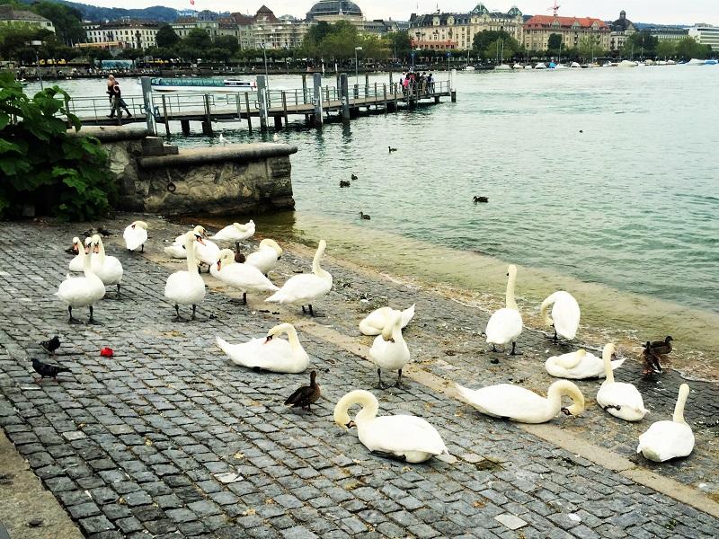 Swans at Lake Zurich - Gregarious Gecko