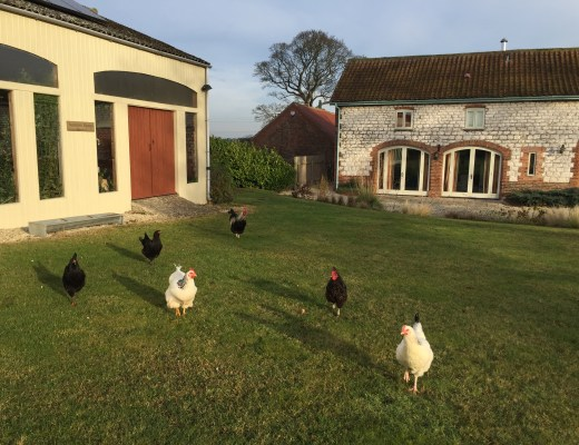 The chickens in Yorkshire - on a house-sitting assignment