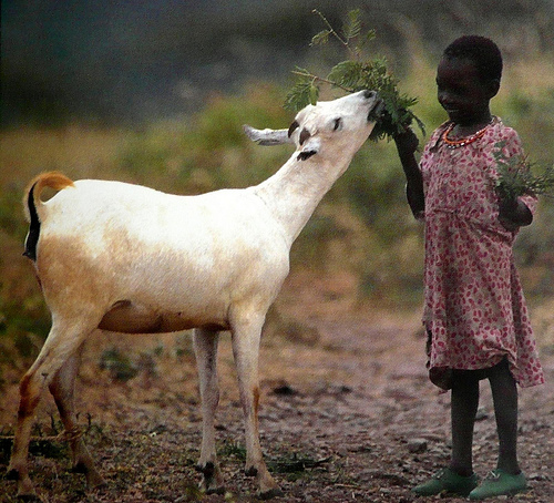 A goat in a rural setting eating from a branch held by a child. Probably not tired of estimating.
