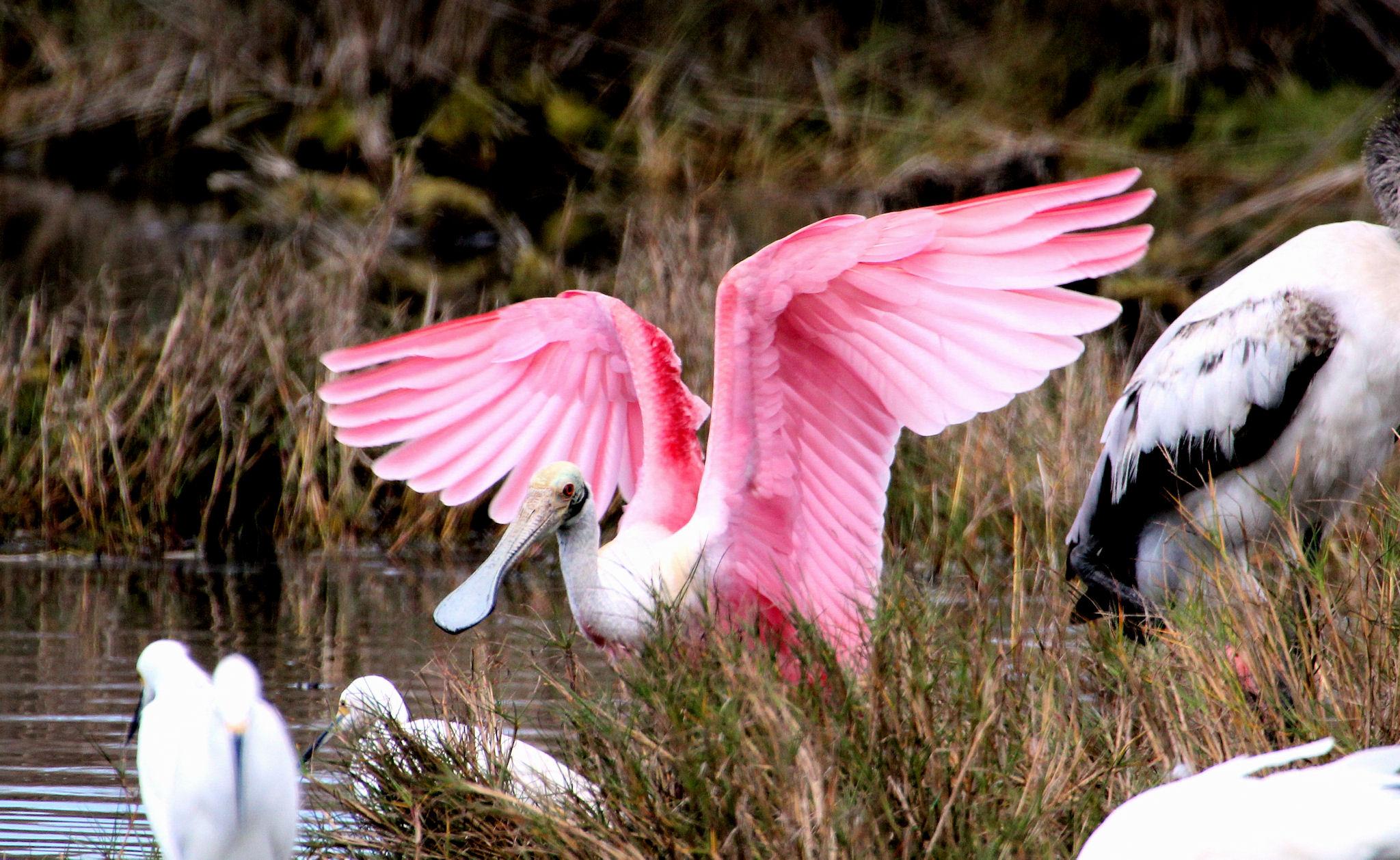 https://i0.wp.com/www.gregmillerbirding.com/wp-content/uploads/2013/02/Roseate-Spoonbill-wings-raised-Merritt-Island-NWR-near-Titusville-FL-2013-01-29-IMG_7135.jpg