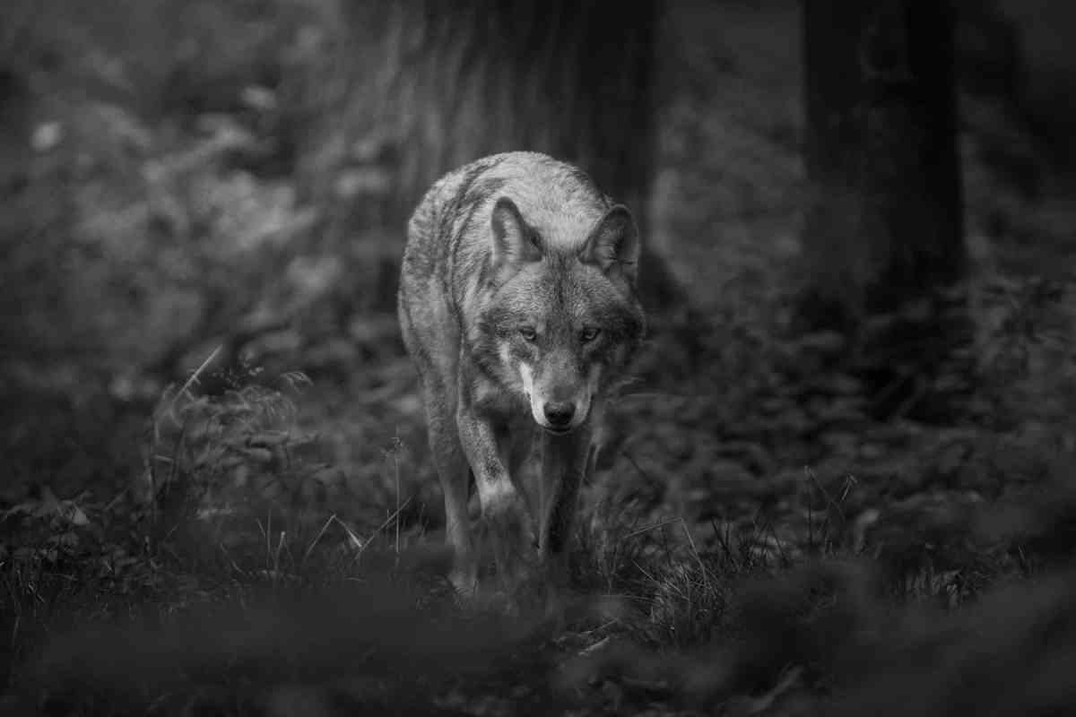 Wolf AdobeStock #246930734