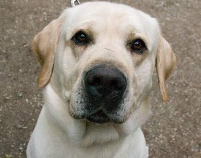 Tiervermittlung Labrador beige Frankreich Hunde