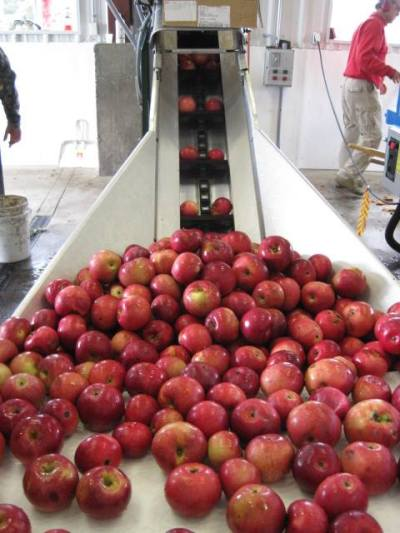 "Apples are drawn up a chute that guides them to the ""crusher"" that will turn the whole apples into ""pomace."""