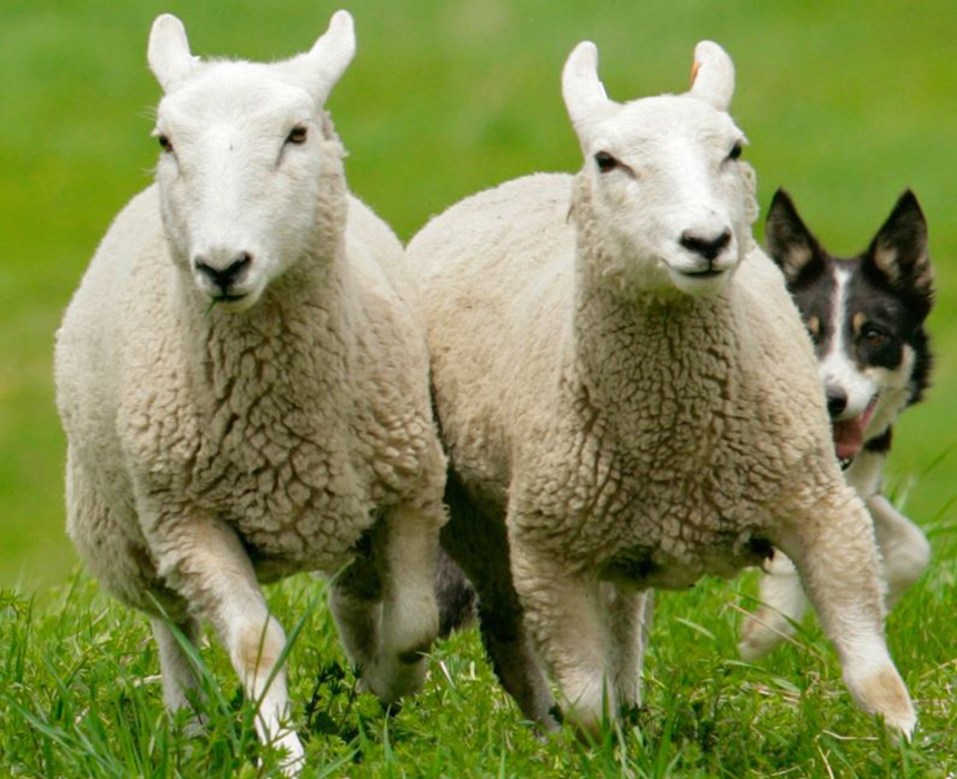 Shepherds Kristen Whittle and Denise Leonard will demonstrate herding sheep up and around the steep meadows of Sheep Hill using their skilled border collies.