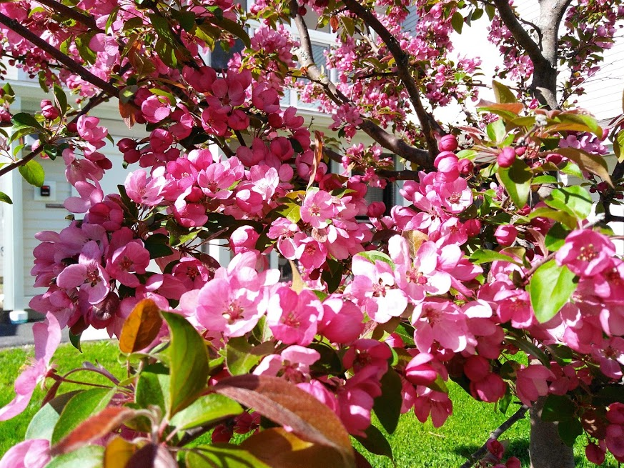 Crab apple tree in blossom; photo by Sheila Velazquez