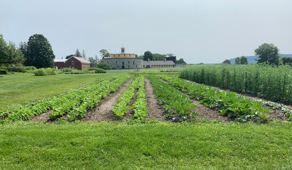 Photo of: Rows of squash plant and other vegetables, with the Shaker Round Barn in the background. Despite a long, cool, rainy Spring, the vegetable and herb and herb are now yielding a bumper crop, according to Alberg; submitted photo.