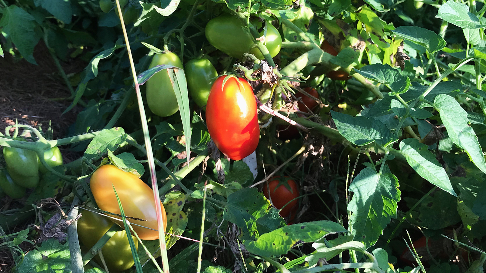 Juliete tomatoes on the vine; photo by Jason Velázquez