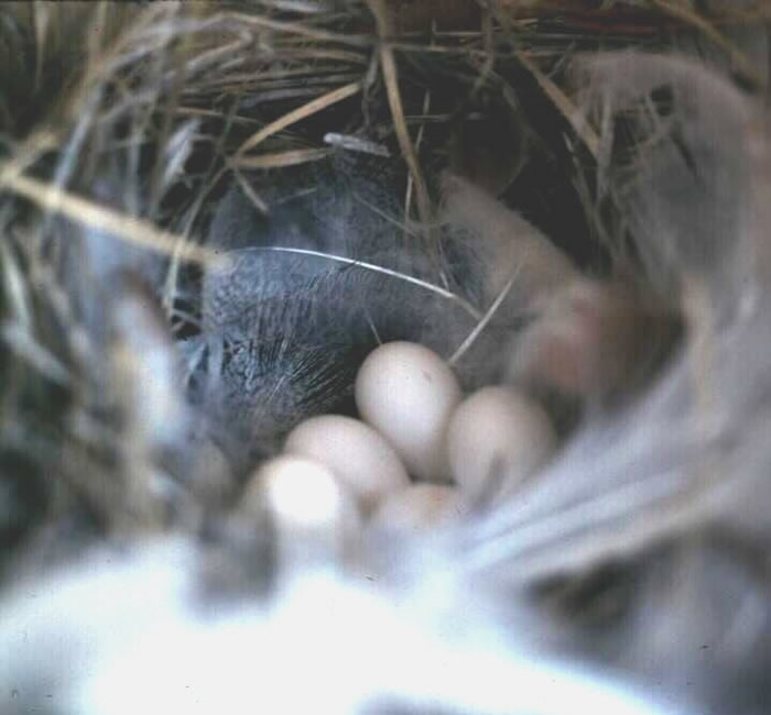 Photo of Tree swallow nest with eggs.