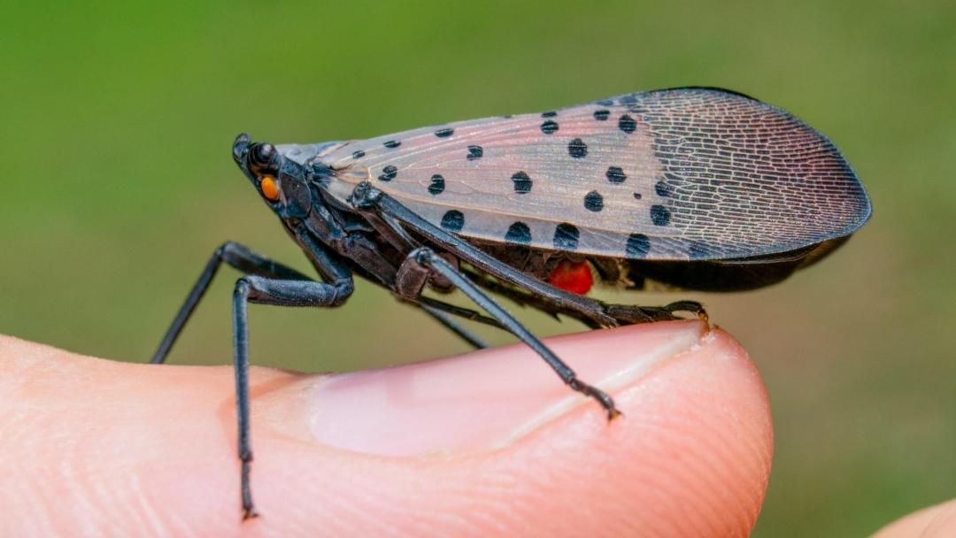 Photo of a specimen of a Spotted lanternfly (Lycorma delicatula) perched on a person's thumbnail; Photo: Peter L. Coffey, University of Maryland Extension (2017-2021)