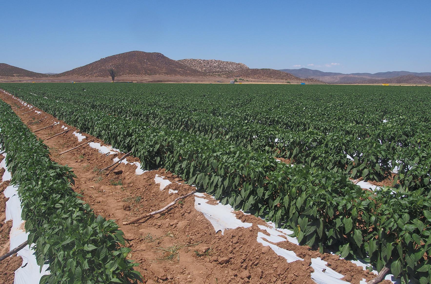 Los costos de la agricultura de exportación en Baja California